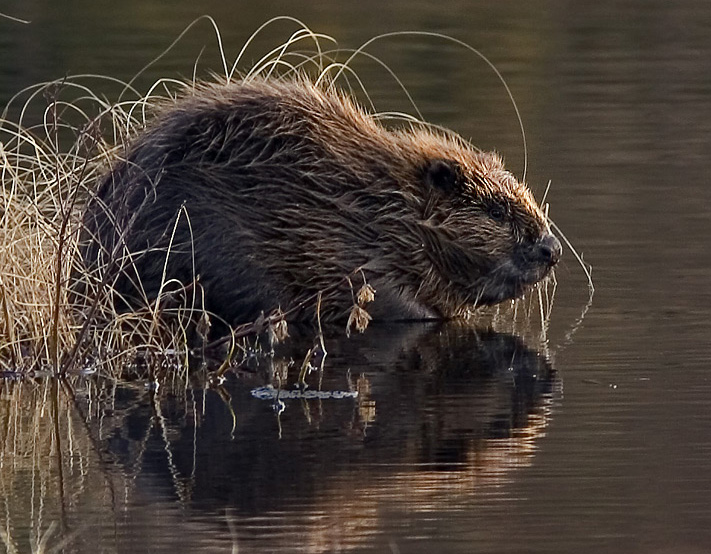 "Per Harald Olsen - User made.: ""Beaver pho34"". Engedély: CC BY-SA 3.0, forrás: Wikimedia Commons"