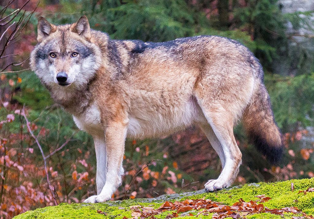 """Grey wolves in Bavarian Forest National Park (cropped)"" by [2] - [1]. Licensed under CC BY 2.0 via Commons."