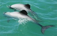 """Two Maui's dolphins"" von ©Department of Conservation, New Zealand. - Image, displayed on this page with the caption ""Maui's dolphin is the world's smallest and rarest dolphin"". Licensing info. Confirmation of DOC copyright.. Lizenziert unter CC BY-SA 3.0 nz über Wikimedia Commons."