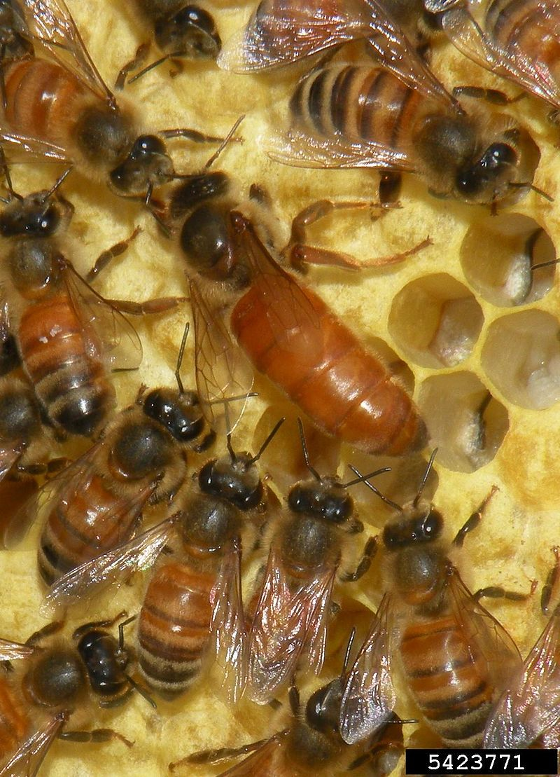 """""""Apis mellifera (queen and workers)"""" by Jessica Lawrence, Eurofins Agroscience Services, Bugwood.org - http://www.insectimages.org/browse/detail.cfm?imgnum=5423771. Licensed under CC BY 3.0 via Commons."""